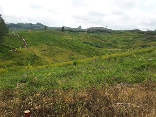 Lahan petani Sekato Jayo yang diduga ditebar racun. (foto; Portaljambi.com)